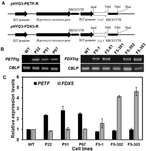 Characterization of transgenic Chlamydomonas overexpressing PETF and FDX5, respectively; (A) Schematic illustration of plasmids pHYG3-PETF-R and pHYG3-FDX5-R prepared for electroporation. The coding sequence of either PETF or FDX5 was ligated between the β2-tubulin promoter (PT) and the 3ʹUTR of ribulose-1,5-bisphosphate carboxylase/oxygenase small subunit (RBCS) to generate pHYG3-PETF-R and pHYG3-Fd5-R, respectively. The transformants harboring the aph7 gene were screened by hygromycin; (B) To confirm putative transformants, specific primers were used to amplify part of the promoter and the entire FDX gene to the 3ʹUTR region. Amplification of CBLP (G-protein beta subunit-like polypeptide) was used as an internal control for genomic DNA; (C) The relative quantity (RQ) of PETF and FDX5 transcripts in algal lines. The total mRNA transcripts from endogenous and recombinant FDX genes, either PETF or FDX5, were quantified by qPCR with specific primers. Relative expression levels are the relative quantities of either PETF or FDX5 transcripts compared to the CBLP transcripts respectively, and then normalized by the value of non-transformant CC125 under normal growth conditions.