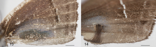 Scent patches on the ventral forewing. 13Thereuslomalarga14Thereusoppia, showing the erect androconia attached to the inner margin (also in Thereusbrocki), which occurs in no other Eumaeini. Superficially similar androconia are widespread in tribe Deudorigini. Scale bars: 1.0 mm.