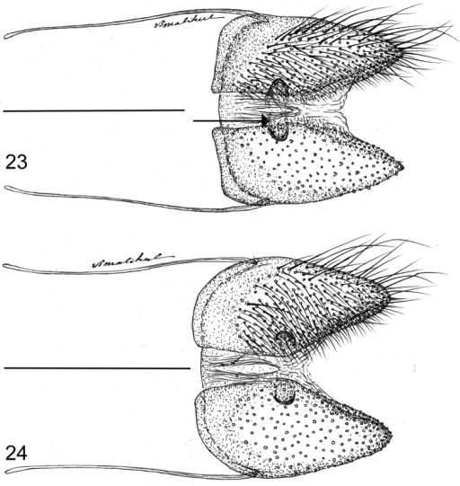 Female papillae anales in ventral aspect showing sclerites that characterize Thereus (arrow). Posterior of insect to the right. 23Thereuslomalarga24Thereusbrocki. Scale bars: 0.5 mm.