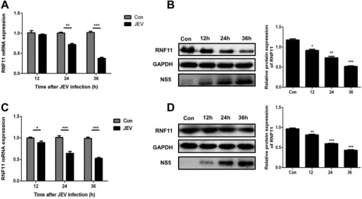 RNF11 expression is downregulated after JEV infection. (A) U251 cells were infected with JEV at an MOI of 5 for the indicated times, and then RNF11 mRNA expression levels were determined by quantitative real-time PCR. (B) U251 cells were infected with JEV at an MOI of 5 for the indicated times, and then RNF11 protein levels were determined with immunoblotting. (C and D) BV2 cells were infected with JEV at an MOI of 5 for the indicated times, and then RNF11 mRNA (C) and protein (D) expression levels were determined by quantitative real-time PCR and immunoblotting, respectively. Data represent means ± SD from three independent experiments. *, P < 0.05; **, P < 0.01; ***, P < 0.001. Protein levels were quantified with immunoblot scanning and normalized to the amount of GAPDH expression.