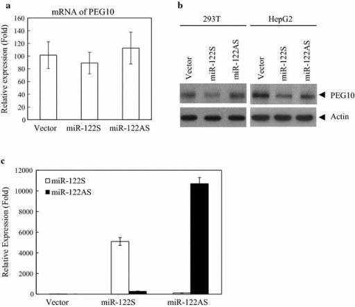 PEG10 is regulated by miR-122 at the post-transcriptional level in 293T and HepG2 cells. a PEG10 mRNA levels were detected by qRT-PCR and normalized to that of glyceraldehyde 3-phosphate dehydrogenase (GAPDH) in 293T cells. b Western blot analysis of PEG10 expression in 293T and HepG2 cells transfected with miR-122S and miR-122AS. Tubulin was used as the loading control. c Overexpression of miR-122 upon HepG2 cells transfection with miR-122S and miR-122AS, as determined by qRT-PCR