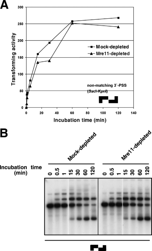 NHEJ kinetics is not affected by Mre11 depletion. Nonmatching 3′-PSS substrate SacI-KpnI was incubated in mock- and Mre11-depleted membrane-free cytosol, and samples were taken at the indicated time points. DNA was recovered and analyzed by (A) colony formation assay and (B) Southern blot hybridization (grouping of different segments of the same gel is indicated by dividing lines).