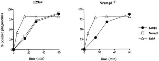Kinetics of Nramp1  protein delivery to the maturing  phagosome. Macrophages from  normal 129/sv mice (left) and  from 129/sv Nramp1−/− mutants (right) were fed a meal of  LBs for 5 min, washed at 4°C,  and further incubated to initiate  phagosome maturation. At predetermined times, cells were fixed  and analyzed by immunofluorescence for subcellular localization  of Nramp1 (□), the late endosomal/early lysosomal marker  Lamp1 (•), and the early endosomal marker Rab5 (▵). The  percentage of phagosomes positive for each marker was determined after examination of the cells, first under phase contrast to locate cell-associated LBs,  and then under fluorescence for the presence or absence of immunospecific signal at the periphery of the bead. A total of 100 beads were counted for  each marker and at each time point. The average of values from two independent experiments are shown.