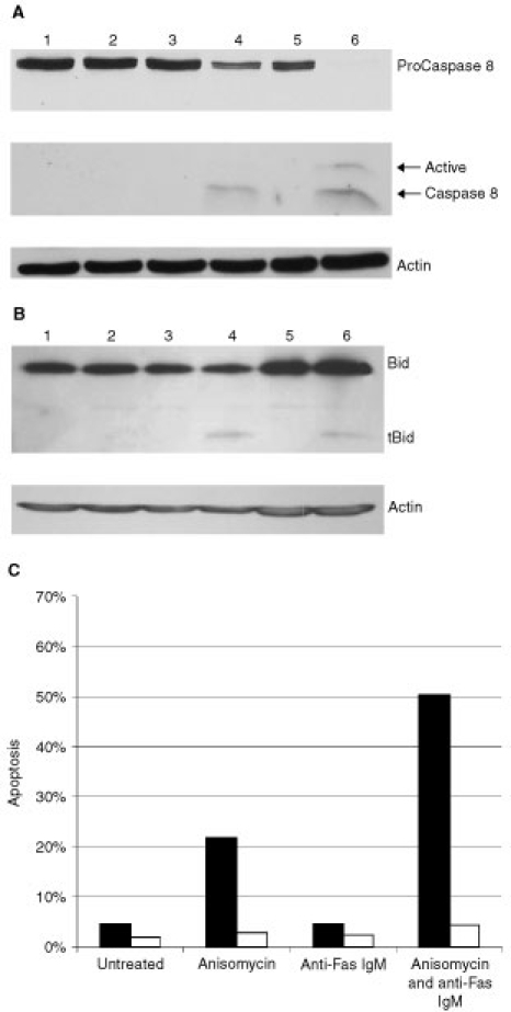 Inhibition of Fas mediated apoptosis occurs upstream of Caspase 8 cleavage in DU 145 cells. (A) Western blot analysis of Caspase 8 in untreated DU 145 cells (1) or following incubation with anisomycin (250 ng ml−1) (2), anti-Fas IgM (200 ng ml−1) (3) or both (4) for 8 h. Untreated (5) and anti-Fas IgM treated (200 ng ml−1 anti-Fas IgM, 4 h) (6) Jurkat cells were used as a positive control for the P14 and P10 Caspase 8 cleavage products. β-Actin was also probed to ensure equal protein loading. (B) Bid expression and cleavage was analysed by Western blot in untreated DU 145 cells (1) or in cells incubated with anisomycin (250 ng ml−1) (2), anti-Fas IgM (200 ng ml−1) (3) or both (4) for 8 h. Jurkats untreated (5) or treated with anti-Fas IgM (200 ng ml−1) for 4 h (6) are used as a positive control. (C) DU 145 cells were pre-treated with 50 μM z-IETD-fmk (white columns) or a DMSO control (black columns) for 10 min before treating with anisomycin and anti-Fas IgM as before. Apoptosis was determined by staining with both Annexin V and PI after 8 h. Data is representative of three independent experiments.