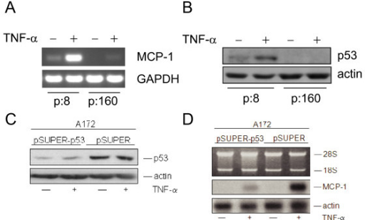 Expression of MCP-1 in Li Fraumeni fibroblasts and after p53 knockdown in A172 cells. (A) RT-PCR of MCP-1 and GAPDH in Li Fraumeni cells (MDAH041) in passage 8 (p:8, p53 mut/wt) and passage 160 (p:160, p53 mut/mut), respectively. Cells were treated with 250 U/ml of TNF-α for 6 h (+). Untreated control cells: (-). (B) Western blot analysis of p53 in MDAH041 cells (p:8) and (p:160) treated with TNF-α (250 U/ml) (+) for 6 h. (-): untreated control. Cytosolic extracts (50 μg per lane) were separated in a 12% SDS-PAGE. Actin confirms equal loading. (C) A172 cells were transiently transfected with pSUPER-p53 or with the empty pSUPER vector. After 24 h, cells were stimulated with TNF-α for additional 5 h. Cells were harvested and Western blot analysis was performed. Filters were probed with anti-p53 (DO-1) (see also panel B). (D) 4 μg of total RNA were separated in a 1% agarose gel and transferred to a Gene screen Plus membrane. The filter was subsequently hybridized with a MCP-1 cDNA probe. Hybridization of the same filter with a cDNA probe coding for the housekeeping gene β-actin confirmed equal loading. The positions of the 28S and 18S ribosomal RNA are indicated.