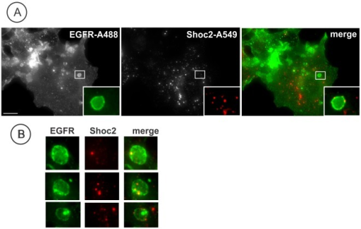 Endogenous Shoc2 localizes with active EGFR. A, Serum-starved Cos1 cells were treated with 10 ng/ml of EGF for 12 min at 37°C, fixed, permeabilized and stained with Shoc2 and EGFR (Ab528) antibodies followed by secondary Alexa548 donkey anti-rabbit and Alexa488 donkey anti-mouse antibodies were used. Insets show high magnification images of the regions of the cell indicated by white rectangles. Scale bars, 10 µm. B, High magnification images of the regions similar to those presented in (A) with examples of co-localization of Shoc2 and EGFR. Filter channels used for imaging of living cells as in (A) insets. Scale bars, 5 µm.