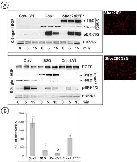 Wild-type Shoc2 but not Shoc2 (S2G) mutant rescues Shoc2 knockdown. A, Cos-LV1 cells were transiently transfected with full-length Shoc2-tRFP or Shoc2-tRFP (S2G) mutant. Cells were serum-starved and treated with 0.2 ng/ml EGF for indicated times at 37°C. The lysates were probed by western blotting for activated ERK1/2 (pERK1/2) and total ERK1/2 (ERK1/2). Low magnification images of Shoc2-tRFP* and Shoc2-tRFP* (S2G) presented to highlight expression efficiency of these proteins in Cos-LV1 cells. B, Multiple blots from the experiments exemplified in A were analyzed. Bars represent the mean values (±S.E., n = 3) of phosphorylated ERK1/2 activity normalized to total ERK in arbitrary units (pERK/ERK), a vs. b, P<0.05 (one-way ANOVA test using SigmaStat 3.5 was used to determine differences in phosphorylated ERK1/2 activity).