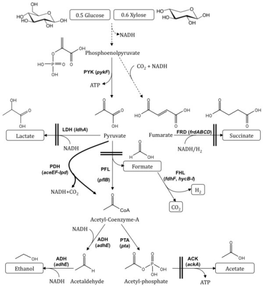 Central metabolic pathways of E. coli functional under anaerobic condition during glucose and xylose fermentation. Relevant genes and corresponding enzymes are shown. Pyruvate dehydrogenase (PDH) operon was expressed under anaerobic condition via promoter replacement and is represented as thick line. The competing pathways to ethanol were blocked as shown by two parallel bars. Broken arrows represent multiple reactions of a pathway. Extracellular metabolites are placed in boxes. Abbreviations are as follows: ADH, acetaldehyde/alcohol dehydrogenase; ACK, acetate kinase; FHL, formate hydrogen-lyase; FRD, fumarate reductase; LDH, lactate dehydrogenase; PDH, pyruvate dehydrogenase; PFL, pyruvate formate-lyase; PTA, phosphate acetyltransferase; PYK, pyruvate kinase.