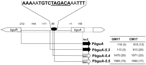 Analysis of truncations of PbguA.A schematic overview of the bguA promoter truncations is shown. The table on the right gives the specific β-galactosidase activity of the truncated promoters in GM17 (0.5% glucose+M17) and CM17 (0.5% cellobiose+M17). Standard deviation is given in parentheses. The oval indicates the position of the putative BguR operator site, while the sequence of the BguR operator site is given above.