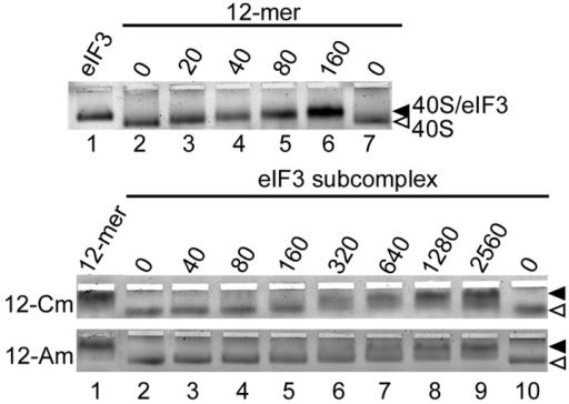 Binding of wild-type and mutant eIF3 complexes to the 40S ribosomal subunit. Native agarose gel showing binding of the eIF3 wild-type and mutant 12-mer eIF3 to the 40S ribosomal subunit, monitored by UV absorbance of the 40S subunit rRNA. The nanomolar concentrations of the eIF3 complexes are indicated. The 40S ribosomal subunit was used at a concentration of 10 nM. The binding of the 40S subunit to natively purified human eIF3 or 12-mer is shown as a control (lane 1).