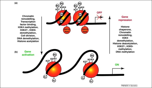 Hypothetical model of chromatin state changes at gene regulatory regions during reprogramming and differentiation. Epigenetic reprogramming of chromatin states requires several events, some of which are summarised here. A fully repressed gene (a) must be remodelled to evict repressive nucleosomes, which may contain histone variants such as macroH2A and multiple repressive histone modifications. Once accessible, regulatory regions may be bound by transcriptional regulators with the ability to recruit activities, such as H3K4 methyltransferases. Loss of repressive histone modifications, such as H3K9me2/3, H3K27me2/3 and DNA methylation and demethylation may occur actively or passively through cell divisions. Histone acetylation also strongly increases transcriptional activity (b). The opposite route may lead to transcriptional silencing of differentiation genes during reprogramming towards pluripotency, or silencing of pluripotency genes during cell differentiation. The steps represented may occur simultaneously and/or in a different order according to the gene and system considered. The order of the epigenetic events that occur during nuclear reprogramming may not be in the exact reverse order of the events that occur during cell differentiation.