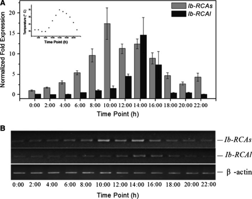The expression patterns of Ib-RCA genes in a photoperiod. a Expression patterns of the Ib-RCA genes by relative quantitative real-time PCR as shown in graphs. RNA samples were collected at 2 h interval from 0 to 22 h. b Expression patterns of the Ib-RCA genes by semi-quantitative PCR as shown in gels. The β-actin was used as a control. Inside graph is the change of temperature in a photoperiod. Data (mean ± SE) are typical results from three independent experiments performed
