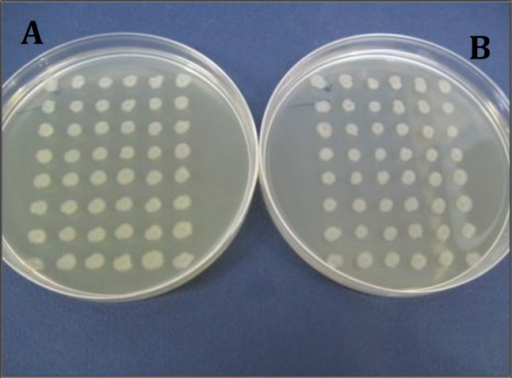 Isolation of ciprofloxacin sensitive mutant strains created by treating the strain number 5 with Ethidium bromide and acridine orange using replica plating method. Plate A: plate without ciprofloxacin; plate B: plate containing ciprofloxacin