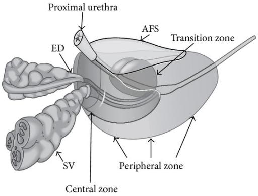 Zonal anatomy of the prostate gland. ED: ejaculatory du   Open-i