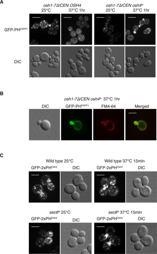 Osh proteins regulate PI4P distribution in cells. (A) Localization of GFP-PHFAPP1 in osh1-7Δ /CEN OSH4 cells or osh1-7Δ /CEN osh4ts cells at indicated temperatures. Cells were grown overnight at 25°C in a synthetic medium containing 2% glucose and then shifted to 37°C for 1 h. Cells shown are representative of >100 cells observed. Note that 6 and 55% of osh1-7Δ/CEN osh4ts cells showed polarized localization of GFP-PHFAPP1 at 25 and 37°C, respectively, and 6 and 0% of osh1-7Δ/CEN OSH4 cells showed polarized localization of GFP-PHFAPP1 at 25 and 37°C, respectively. Scale bar, 5 μm. (B) Localization of GFP-PHFAPP1 and FM4-64 in osh1-7Δ/CEN osh4ts cells at 37°C. Cells were grown overnight at 25°C in a synthetic medium containing 2% glucose and then shifted to 37°C for 1 h. FM4-64 was added to cells and kept on ice to label the plasma membrane. Scale bar, 5 μm. (C) The PI4P probe GFP-2xPHOsh2 accumulates at polarized growth sites in sec6ts cells at the nonpermissive temperature. Wild-type and sec6ts cells were grown overnight at 25°C in a synthetic medium containing 2% glucose and then shifted to 37°C for 15 min. Cells shown are representative of >100 cells observed. Scale bar, 5 μm.