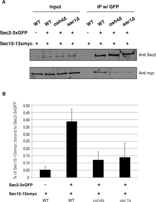 Osh4 positively regulates the Sec2–Sec15 interaction. (A) The Sec2–Sec15 interaction is inhibited in osh4Δ cells and sac1Δ cells. Sec2-3xGFP was immunoprecipitated with anti-GFP antibody from wild-type, osh4Δ, or sac1Δ cell lysates. As a negative control, wild-type cells expressing nontagged Sec2 were included in the coimmunoprecipitation experiments. We loaded 0.5% of whole-cell lysates as input and processed the rest of the samples for coimmunoprecipitation. Sec2-3xGFP in the immunoprecipitates was detected with anti-Sec2 antibody. Coprecipitated Sec15-13xmyc was detected with anti-myc antibody. (B) Quantification of the Sec2–Sec15 interaction in wild-type, osh4Δ, and sac1Δ cells. Three independent experiments were performed. The intensity of the bands was quantified using ImageJ. The percentage of Sec15 in the immunoprecipitate was calculated and is indicated. Mean and SD of three experiments.
