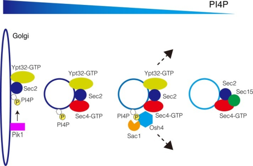 A model for Osh4's role in regulating PI4P during secretion. Osh4 is recruited to the secretory vesicles through PI4P binding (and possibly through protein–protein interactions as well). Osh4 negatively regulates PI4P levels on the secretory vesicles and thereby enhances the Sec2–Sec15 interaction during this process. Finally, Osh4 leaves the secretory vesicles once PI4P levels are reduced below a certain threshold.