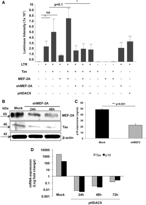 MEF-2 inhibition reduces HTLV-1 LTR transactivation, Tax expression, and viral replication. (A) Transient transfection of Jurkat cells with pU3R-luc (HTLV-1 LTR luciferase reporter construct) as well as plasmids that express Tax, MEF-2A, HDAC9 and MEF-2A shRNA, was done as described in Methods. Before co-transfecting two or more plasmids, each of these plasmids was transfected alone to establish the background levels of luciferase activity. Cells were collected 24 hr post-transfection, lysed and assayed using the dual luciferase assay system. Firefly luciferase activity was normalized with that of Renilla luciferase expressed from phRL/CMV. Each bar represents the average of triplicate samples. Significance among groups was derived by student's t-test to determine the p-value. (*p < 0.05). (B) MT-2 cells were transfected with either scrambled or shMEF-2 plasmid. Western blot analysis was performed at 24 hr and 48 hr to determine protein levels of MEF-2, Tax, and beta-actin. Data represent one of two separate experiments. (C) To analyze effects of shMEF-2A on virus production, transfected MT-2 cells were washed at 48 hr and incubated in fresh medium for another 24–36 hr. Thereafter, supernatants were assessed for HTLV-1 core protein levels (pg/ml) by the p19-specific ELISA (ZeptoMetrix, Buffalo, NY). (D) MT-2 cells were transfected either with a mock plasmid or MITR/HDAC9 plasmids followed by cell collection at every 24 hr over a 72 hr period. Real-time PCR analyses were performed to determine relative mRNA levels of Tax and p19. Data is representative of at least three independent experiments.