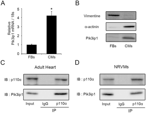 Pik3ip1 is enriched in neonatal rat ventricular cardiomyocytes and interacts with p110α.(A) mRNA levels of Pik3ip1 were measured in cardiomyocytes (CMs) and fibroblasts (FBs) using quantitative reverse transcription PCR (qRT-PCR) (n = 3, * p < 0.05, t test). (B) Western blot analysis was performed to compare CMs and FBs using anti-Pik3ip1, Vimentin, and α-actinin antibodies. (C, D) The interaction between Pik3ip1 and p110α was analyzed in adult mouse heart tissue (C) and NRCMs (D) using anti-p110α or anti-Pik3ip1 antibodies.