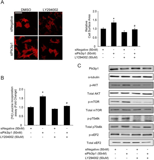 Pik3ip1 silencing-induced cardiomyocyte hypertrophy is dependent on PI3K activity.NRCMs were transfected with siNegative and siPik3ip1 for 24 h and subsequently treated with 0.05% DMSO or LY294002 for 24 h. (A) Representative images (left) of NRCMs stained with anti-α-actinin antibody in siNegative or siPik3ip1-transfected NRCMs with or without LY294002. Scale bar: 100 μm. Quantification of relative cell surface areas (right). (n = 5, * p < 0.05 compared with siNegative-transfected NRCMs treated with DMSO, and ## p < 0.01 compared with siPik3ip1-transfected NRCMs treated with DMSO, ANOVA). (B) All siRNA-transfected NRCMs were incubated with DMSO or LY294002, after which protein synthesis was assessed using a leucine incorporation assay. (n = 12, ** p < 0.01 compared with siNegative-transfected NRCMs treated with DMSO and ## p < 0.01 compared with siPik3ip1-transfected NRCMs treated with DMSO, ANOVA). (C) The signaling molecules involved in the PI3K pathway in the 4 different types of samples (siNegative, siPik3ip1, siNegative plus LY294002, and siPik3ip1 plus LY294002) were verified by the indicated antibodies.