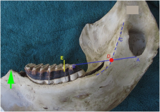 Demonstrates age estimation in the African elephant using the Age Reference Line.A straight line is drawn from Point A at the base of the mandibular foramen to Point B at the most distal point of molar occlusal wear. A line is drawn or vizualised along the ridge of the medial mandible (Line C). The two lines intersect at the red dot, Point D, which has been termed the Age Reference Point (ARP). A measurement of 10 cm is made from this point passing centrally through the distal molar. In this example 10 cm is marked as the distance from ARP (Point D) to the yellow line at E. This yellow line at E is termed the Age Reference Line (ARL). In this example the ARL falls on the 7th lamella (L) of the 4th molar. By reference to this ARL in Table 1 the elephant's age can be estimated as 11.5 years. The green arrow at the mesial end of the mandible marks the mesial end of the dental alveolus, named the 'crest'.