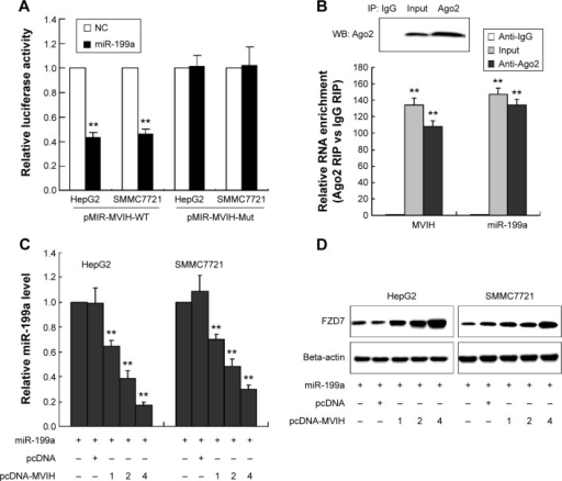 miR-199a targets 3′UTR of microvascular invasion in hepatocellular carcinoma (MVIH) in hepatocellular carcinoma cells. Luciferase reporter plasmid, wild-type luciferase reporter plasmid (p-MIR-MVIH-WT) or mutant luciferase reporter plasmid (pMIR-MVIH-Mut), was co-transfected with miR-199a mimic into SMMC7721 or HepG2 cells; the relative luciferase activity was detected by luciferase reporter assay (A). HepG2 cells lysate was treated with antibody Ago2 or immunoglobulin (Ig) G, and then the RNA immunoprecipitation was performed to detect the relative MVIH and miR-199a enrichment (B). Co-transfection of miR-199a mimic with pcDNA-MVIH or pcDNA-NC into SMMC7721 or HepG2 cells; the concentrations of pcDNA-MVIH were 1 μg, 2 μg, and 4 μg; the relative miR-199a level was quantified by real-time polymerase chain reaction (C). The protein expression of FZD7 was detected by Western blot (D).Note: **P<0.01, versus the group treated with negative control (NC; A) or anti-IgG (B) or transfection of miR-199a with empty pcDNA (C).Abbreviations: IP, immunoprecipitation; RIP, RNA immunoprecipitation; WB, western blot.