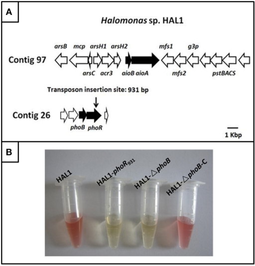 The gene island of As(III) oxidation in Halomonas sp. HAL1 and As(III) oxidation analysis. (A) The gene island of As(III) oxidation. The transposon insertion site of phoR mutant is shown by vertical arrow. (B). As(III) oxidation phenotype of strains HAL1, HAL1-phoR931, HAL1-ΔphoB, and HAL1-ΔphoB-C. The strains were inoculated into MMNH4 medium containing 0.1 mM Pi, 0.8 M NaCl, and 1 mM As(III). After 7 d cultivation, the As(III) oxidation was monitored by qualitative KMnO4 biochemical analysis.