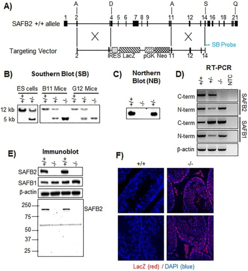 Generation of SAFB2−/− mice. (A) SAFB2 mouse allele, and targeting construct for deletion of the SAFB2 genomic fragment from exons 4 to 10. SB, Southern blot probe. (B) Southern blot analysis of genomic DNA from embryonic stem (ES) cells (left panel) and mice (right panel). SAFB2+/+ and SAFB2−/− bands have sizes of 12 kb and 5 kb, respectively. (C) Northern blot analysis of RNA from SAFB2+/+, SAFB2+/− and SAFB2−/− mice. (D) RT-PCR using RNA from SAFB2+/+, SAFB2+/− and SAFB2−/− mice and primers targeting both the N and C terminal regions of SAFB2 and SAFB1. NTC, non-template control. (E) Immunoblot of lysates from either SAFB2+/+ or SAFB2−/− mice with antibodies targeting SAFB2 and SAFB1. Lower panel shows an entire SAFB2 immunoblot to provide proof of expression of the N-terminal fragment. (F) LacZ (β-galactosidase) staining of SAFB2+/+ or SAFB2−/− Sertoli cells. Blue, DAPI; red, Alexa Fluor 546 (lacZ).