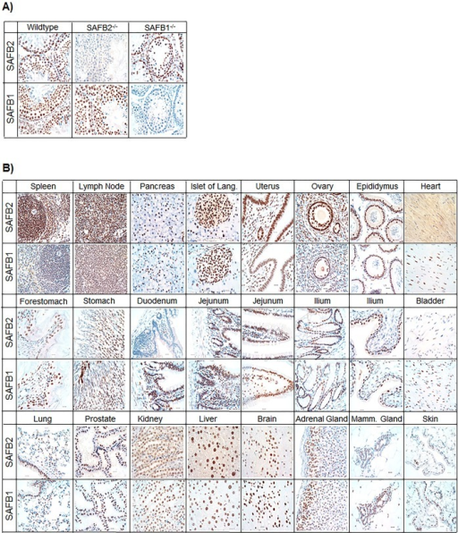 Immunohistochemical staining of SAFB2 and SAFB1 in mouse tissues. (A) SAFB2 and SAFB1 IHC using mouse testes from wild-type, SAFB2−/− and SAFB1−/− mice. Tissues were counterstained with hematoxylin. (B) IHC for SAFB2 and SAFB1 in mouse tissues, as indicated (scale bars: 20 μm).