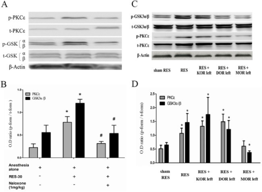 The role of opioid receptors signaling in remote electro-stimulation (RES)-induced myocardial GSK3 and PKCε expression.A non-selective opioid receptor antagonist, naloxone (1 mg/kg) (A, B, n = 4–5), and three specific opioid receptor subtypes antagonists targeting the kappa opioid receptors (KORs), delta opioid receptors (DOR)s and mu opioid receptor (MOR) antagonists (C, D, n = 4–5), were used to pretreat the animals for 15 min before RES preconditioning. Next, after RES treatment for 30 min, the heart proteins were analyzed by Western blotting. Optic density (OD) ratio = phosphorylated form divided by the total form. Only the band of GSK3-β was quantified. *, p<0.05, vs. sham RES; #, p<0.05, vs. RES-30 or RES. KOR, kappa opioid receptor; DOR, delta opioid receptor; MOR, mu opioid receptor; KOR left, KOR activity remained; DOR left, DOR activity remained; MOR left, MOR activity remained.