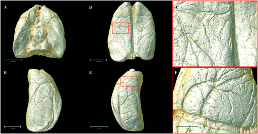 Multi-angle surface-rendering of the 3D reconstructed brain.(A) Ventral view. (B) Dorsal view (C) Partial enlargement view of (B) with red box showing the leptomeningeal anastomotic branches. (D) Lateral right view. (E) Lateral left view. (F) The pial branches of middle cerebral artery. Scale bars: 3000 μm (A,B,D,E), 1000 μm (C) and 1500 μm (F).
