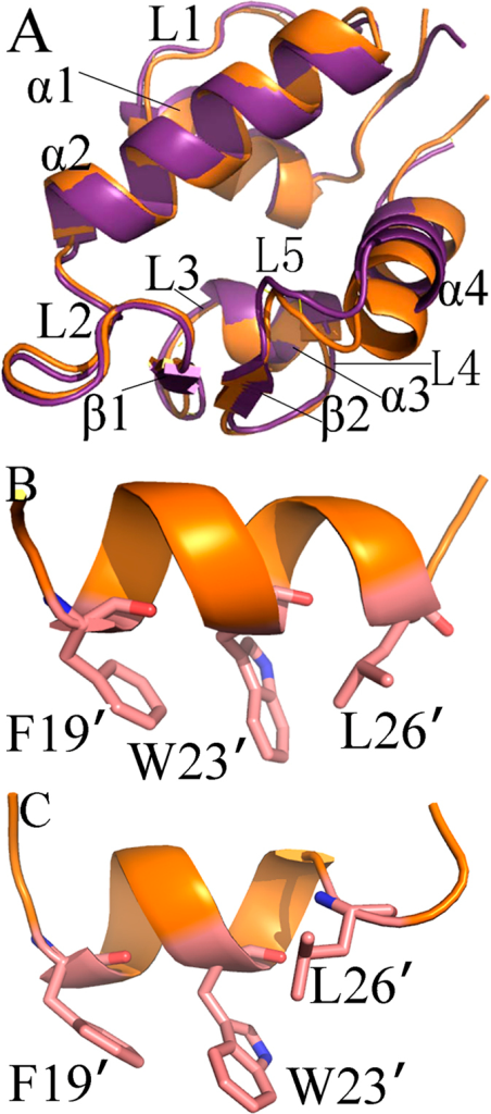 Structures of MDM2, MDMX and inhibitors: (A) superimposed structures of MDM2 and MDMX in a cartoon mode, MDM2 is shown in orange and MDMX in violetpurple; (B) structure for pDI6W and (C) structure for pDIQ.
