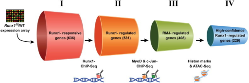 Experimental design.Schematic representation of the selection procedures used to identify high-confidence Runx1-regulated genes (adapted from Umansky et al. [1]). Each cylinder represents a gene subset, with the gene number given in brackets. I — Runx1-responsive genes were derived from Runx1L/Lvs. Runx1f/f PM microarray expression data [1]. II — Runx1-regulated genes were derived by cross-analysis of the Runx1-responsive gene dataset and Runx1 ChIP-seq data. This gene subset represents Runx1-responsive genes that are also occupied by Runx1. III — RMJ-regulated genes are Runx1-responsive genes that are co-occupied by Runx1, MyoD and c-Jun. IV — High-confidence Runx1-regulated gene subset is RMJ-regulated genes that were also marked as having adjacent active regulatory elements by both anti-histone modifications (H3K4me1 & H3K27ac) ChIP-seq and ATAC-seq analysis.