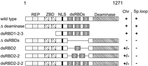 Schematic representation of Xenopus ADAR1 and mutant constructs used in this paper. The 1,271–amino acid Xenopus ADAR1 protein is depicted to scale at the top with mutant constructs shown underneath. Subregions of the protein are indicated as follows: REP, 11-aa peptide repeats; ZBD, Z-DNA binding domain; NLS, nuclear localization signal; dsRBDs, double-stranded RNA-binding domains; and Deaminase, catalytic deaminase domain. The ability of constructs to label chromosomes (Chr) and enrich at the special loop (Sp. loop) is shown on the right and indicated either as positive (+), negative (−), or patchy (+/−). Deletion of the deaminase domain (Δ deaminase) had no effect on chromosomal labeling and special loop enrichment. Expression of the central part of the protein from the end of the ZBD up to the end of dsRBD3 (dsRBD1-2-3) resulted in the same localization pattern as the wild-type protein, which is indicated by chromosomal association and special loop enrichment. Conversely, removal of the three dsRBDS from the full-length protein (Δ dsRBDs) resulted in a loss of all nuclear staining. Replacement of the endogenous dsRBDs with single dsRBDs (dsRBD2), duplicated dsRBDs (dsRBD2-2) or triplicated dsRBDs (dsRBD2-2-2) failed to restore normal chromosomal association. All constructs gave patchy labeling (+/−) and none enriched at the special loop (for simplicity, only dsRBD2 containing constructs are shown).
