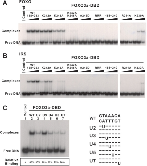 Electrophoretic mobility shift assay (EMSA). (A) EMSA was performed with wild-type, mutated and FOXO3a-DBD158–240 and a 32P-labeled oligonucleotide probe containing the FOXO consensus DNA-binding sequence, GTAAACA. In the control lane, only 32P-labeled DNA was used. Free probe is indicated at the bottom of the gel. (B) DNA-binding affinity of wild-type, mutant and FOXO3a-DBD158–240 with the insulin response sequence (IRS), CAAAACA. (C) EMSA of wild-type FOXO3a-DBD binding to oligonucleotides containing substitutions within the FOXO consensus sequence. Lane 1, 32P-labeled DNA only; lanes 2–7, wild-type sequence or sequences substituted with U at positions 2, 3, 4, 5 or 7, respectively. The nucleotide sequence of each substitution site is shown on the right-hand side of Figure 6C. The final FOXO3a-DBD concentration in lanes 2–7 was 800 nM. The extent of FOXO3a-DBD relative binding to DNA (indicated below each lane) was quantified using a PhosphorImager (Molecular Dynamics). Lane 1 is a control, with no added protein. Positions of free DNA and the protein–DNA complex are indicated on the left.