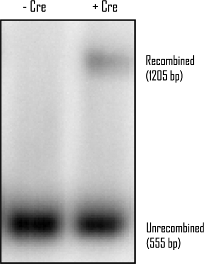 Cre-mediated recombination in vivo. A Southern blot of HindIII and PstI-digested yeast DNA probed with a GAL4 AD fragment is shown. Lane 1: Bait and prey vectors in yeast strain AH109 in the absence of Cre expression vector (AH109-pCDlox66, pGADt7lox71). Lane 2: Bait and prey vectors in yeast strain AH109 in the presence of Cre expression vector (AH109-pCDlox66, pGADt7lox71, pFA6a2 μ-Adc1Cre).