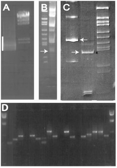 BI-Tag method. (A) PCR amplification (with primers that anneal to GAL4 AD and DBD cDNAs) across linked cDNAs and lox sequence of the HoxA1 Y2H positive colony DNA (bar). (B) MmeI digestion of the PCR product to produce the 86 bp BI-Tag (arrow). (C) Left lane: 160 bp PCR product that includes the BI-Tag and 40 bp linkers (arrow), Middle lane: 94 bp BI-Tag (arrow) generated by NotI digestion with NotI compatible overhangs for concatenation. (D) Amplicons of BI-Tag concatamer inserts in a cloning vector.