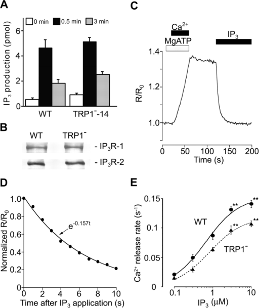 IP3-induced Ca2+ release is suppressed in TRP1-deficient cells. (A) Intact BCR-induced IP3 production in TRP1-deficient cells. Cells were stimulated with anti-BCR antibody M4 (1 μg/ml) for the indicated time. Data points are the mean ±SE from four experiments. (B) Western blot analysis demonstrating the IP3R-1 or IP3R-2 expression indistinguishable in WT and mutant cells using a polyclonal antibody against either IP3R-1 or IP3R-2. (C) The ER luminal Ca2+ concentration increased with activation of the Ca2+ pump, and declined upon application of IP3. (D) The level of activation of the IP3R can be quantitatively compared by the initial rate of Ca2+ release, which we estimated by fitting an exponential curve (continuous line) to the initial part of the Ca2+ decay signal (black circles). (E) IP3-concentration dependence of Ca2+ release. Release rates were obtained by fitting a single exponential to the initial part of Ca2+ decay signal measured in luminal Ca2+ monitoring (reference 27). The continuous curve and dotted curve represent the best fit hyperbolic equations, rmax/(1 + EC50/[IP3]), where rmax is the extrapolated values of the maximal rate of Ca2+ release, for Ca2+ release rates in WT and TRP1-deficient cells, respectively. rmax and EC50 were 0.153 s-1 and 0.66 μM in WT cells, and 0.118 s−1 and 0.83 μM in mutant cells. Data obtained from TRP1−-14 and TRP1−-16 were combined. Data points are the mean ±SE from six to seven experiments. **P < 0.01.