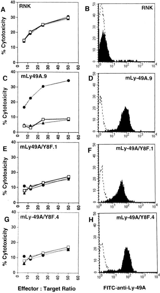 Lysis of P388D1 (H-2Dd) cells is not altered in RNK-mLy49A/Y8F transfectants. Ly-49A expression on RNK transfectants was assessed by staining cells with either saline (dotted line) or FITC–anti-Ly-49A  (solid line). FACS® histograms show Ly-49A expression in wild-type  RNK-16 (B), RNK-mLy-49A.9 (D), RNK-mLy-49A/Y8F.1 (F) and  RNK-mLy-49A/Y8F.4 (H). Standard 4-h cytotoxicity assays were performed using P388D1 (H-2Dd) as targets. Effector cells were wild-type  RNK-16 (A), RNK-mLy-49A.9 (C), RNK-mLy-49A/Y8F.1 (E), or  RNK-mLy-49A/Y8F.4 (G). Effectors were preincubated with either media alone (open squares), anti-Ly-49A (closed circles), or isotype-matched  control antibody (anti-NK1.1, PK136, closed triangles), before addition of  targets.