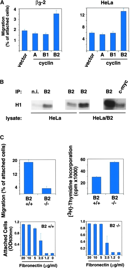 Expression of cyclin B2 increases cell migration. (A) β3-LNCaP (β3-2) and HeLa cells cotransfected with pCMVβgal and pcDNA-3 (vector), pCMXcyclin A (A), pCMVcyclin B1 (B1), or pCMVcyclin B2 (B2) were processed 24 h after transfection, as described in Figs. 3 and 4. The mean and SEM of 10 random fields is shown. (B) Ectopically expressed cyclin B2 forms active kinase complex. Immunocomplexes precipitated from HeLa and cyclin B2–transfected HeLa RIPA extracts using nonimmune rabbit serum (n.i.), or rabbit polyclonal antibody to cyclin B2 (B2) or a c-myc agarose-conjugated rabbit polyclonal antibody (c-myc) were used in kinase assays using histone H1 as a substrate. (C) Cyclin B2– cells migrate poorly on FN. For migration assays (top left panel), 15,000, 30,000, or 60,000 cyclin B2– (B2 −/−) and wt (B2 +/+) MEFs were seeded in serum-free medium on 5 μg/ml FN-coated transwell insert filters. After 4 h, cells were fixed and stained with crystal violet and the cells on the top and bottom of the filter were counted. The mean and SEM of 10 random fields is shown. For proliferation assays (top right panel), 10,000 cells were seeded in serum-free medium on 5 μg/ml FN-coated 96-well plates in the presence of 1 μCi [3H]thymidine per well. After 4 h, cells were processed to determine [3H]thymidine incorporation, as described in Materials and methods. For adhesion assays (bottom panels), 50,000 cells were seeded for 2 h in serum-free medium in a 96-well plate coated with increasing concentrations of FN as described in Materials and methods.