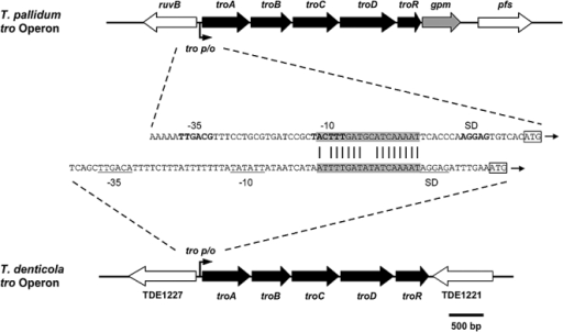 Genetic organization of the T. pallidum and the T. denticola tro operons and sequence alignment of the T. pallidum and T. denticola tro P/O regions located immediately upstream of the troA ORFs. troA is predicted to encode a periplasmic binding protein; troB is predicted to encode the ATP-binding component, while troC and troD are predicted to encode the membrane components of ABC transporters; troR is homologous to a number of genes encoding Gram-positive iron-activated repressor proteins including DtxR and SirR; gpm encodes the glycolytic pathway enzyme, phosphoglycerate mutase. The σ70-like promoters (−10 and −35 sequences) are indicated in bold (T. pallidum) or underlined (T. denitcola). The 18 bp operator motifs are highlighted in grey. Sequence identity between the operators is indicated by vertical lines. Putative ribosome binding sites are in bold (T. pallidum) or underlined (T. denitcola) and indicated by SD. The troA start codons are indicated by boxes.