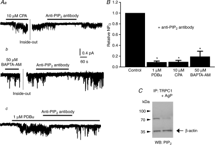 Anti-PIP2 antibodies inhibit TRPC1 SOC activityA, bath application of anti-PIP2 antibodies (1: 200 dilution) to the cytosolic surface of inside-out patches held at –80 mV markedly inhibited SOC activity initially induced by 10 μm CPA (a) or 50 μm BAPTA-AM (b) in cell-attached patches and 1 μm PDBu (c) applied to a quiescent inside-out patch. B, mean data showing that anti-PIP2 antibodies significantly reduced SOC activity evoked by CPA, BAPTA-AM and PDBu (*P < 0.05). C, co-immunoprecipitation experiments where tissue lysates from portal vein were immunoprecipitated (IP) with an anti-TRPC1 antibody (Santa Cruz) and then Western blotted (WB) with an anti-PIP2 antibody. In control conditions a band of ∼70 kDa was observed (see Methods), which was absent after pre-treatment of the anti-TRPC1 antibody with its antigenic peptide (AgP). Note that bands detected with an anti-β-actin antibody were unaffected by pretreatment with the antigenic peptide.