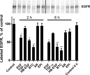 EGFR ligands differentially stimulate EGFR degradationCells were incubated with 35S-methionine/cysteine for 1–2 h followed by unlabelled medium for 3 h. The cells were subsequently incubated on ice with 10 nm (EGF, TGF-α, HB-EGF, and BTC) or 100 nm (AR and EPI) of ligand, washed, and incubated at 37°C for 2 or 6 h. Cells were lysed, immunoprecipitated EGFR was separated by gel electrophoresis (upper image), and the amount of radioactive EGFR was quantified by PhosphorImager. The column bar graph shows mean + /− SEM for quantification of four independent experiments. Statistical difference from the 0 h control as determined by Student's t-test is indicated by stars (*: p < 0.05; ** p < 0.01).