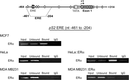 "ERα only associates hypomethylated ERE region of pS2.Representative experiments of ERα ChIP assays in ERα-rich MCF7 cells, in ERα-negative HeLa and MDA MB231 cells, and in HeLa and MDA MB231 expressing the vector HEG0 encoding ERα (HeLa::ERα, and MDA MB231::ERα). ChIP assays were performed as described in Figure 2. The position of the ""pS2 ERE fragment"" analyzed by PCR are represented on the pS2 5′ end schema."