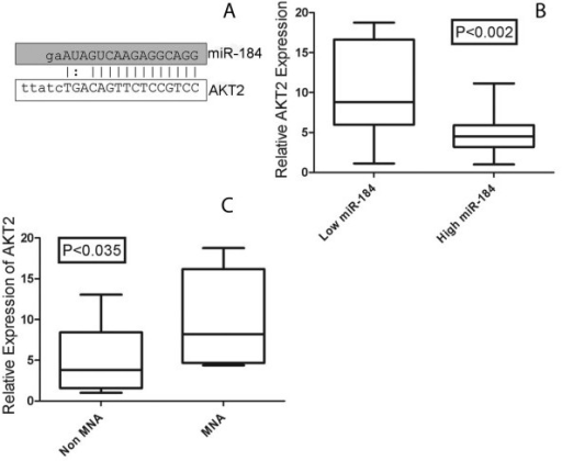 (A) Predicted alignment of miR-184 to the mRNA 3'UTR region of AKT2, as predicted by the Sanger miR Registry. (B) AKT2 mRNA levels were significantly different (p < 0.002) between tumours with high miR-184 levels (predominantly MNA tumors)(n = 10) and tumours with low miR-184 levels (predominantly non-MNA)(n = 9). AKT2 mRNA levels were also significantly different (p < 0.035) between tumours with MNA (n = 10) versus non-MNA (n = 9).