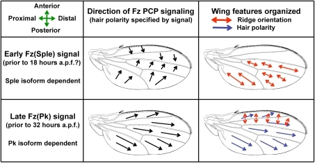 A Bidirectional-Biphasic (Bid-Bip) model for Fz PCP signaling in the Drosophila wing.The model proposes two distinct Fz PCP signals that differ both in direction and in use of the Prickle protein isoforms, Pk and Sple. An Early Fz(Sple) signal along the A-P axis organizes posterior ridge orientation. A Late Fz(Pk) signal along the P-D axis organizes anterior ridge orientation and hair polarity. (a.p.f. = after pupal formation).