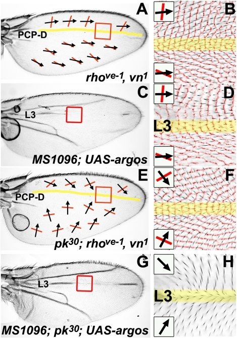 A PCP discontinuity (PCP-D) on the Drosophila wing.All micrographs are of the female dorsal wing surface. Black arrows indicate local hair polarity; red lines indicate local ridge orientation. Yellow shading represents the approximate location of a discontinuity in PCP (the PCP-D). Panels B, D, and F show light micrographs of hair polarity overlaid on an inverted and colorized (red) CRM image of ridge orientation in the same region. (A) rhove-1, vn1 homozygous wing. (B) Detail of rhove-1, vn1 homozygous wing (red-boxed region in (A)). (C) MS1096-gal4; UAS-argos wing. (D) Detail of MS1096-gal4; UAS-argos wing (red-boxed region in (C)). (E) pkpk30; rhove-1, vn1 homozygous wing. (F) Detail of pkpk30; rhove-1, vn1 wing (red-boxed region in (E)). (G) MS1096-gal4; pkpk30/pkpk30; UAS-argos wing. (H) Detail of MS1096-gal4; pkpk30/pkpk30; UAS-argos wing (red-boxed region in (G)) showing hair polarity.