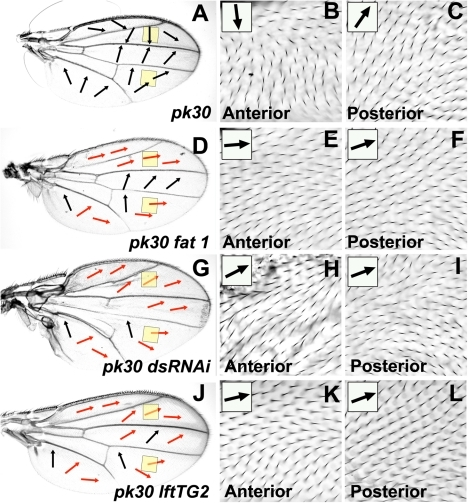 Reduced Ft/Ds pathway gene activity modifies the pkpk hair polarity phenotype.All micrographs are of the female dorsal wing surface. Arrows indicate local hair polarity, red arrows indicate where local hair polarity differs from that seen on a pkpk30 homozygous wing. (A) pkpk30 homozygous wing. (B) Detail of anterior pkpk30 homozygous wing (anterior yellow shaded region in (A)). (C) Detail of posterior pkpk30 homozygous wing (posterior yellow shaded region in (A)). (D) ft1, pkpk30 homozygous wing. (E) Detail of anterior ft1, pkpk30 homozygous wing (anterior yellow shaded region in (D)). (F) Detail of posterior ft1, pkpk30 homozygous wing (posterior yellow shaded region in (D)). (G) MS1096-gal4; UAS-ds(IR), pkpk30/pkpk30 wing. (H) Detail of anterior MS1096-gal4; UAS-ds(IR), pkpk30/pkpk30 wing (anterior yellow shaded region in (G)). (I) Detail of posterior MS1096-gal4; UAS-ds(IR), pkpk30/pkpk30 wing (posterior yellow shaded region in (G)). (J) lftTG2, pkpk30 homozygous wing. (K) Detail of anterior lftTG2, pkpk30 homozygous wing (anterior yellow shaded region in (J)). (I) Detail of posterior lftTG2, pkpk30 homozygous wing (posterior yellow shaded region in (J)).