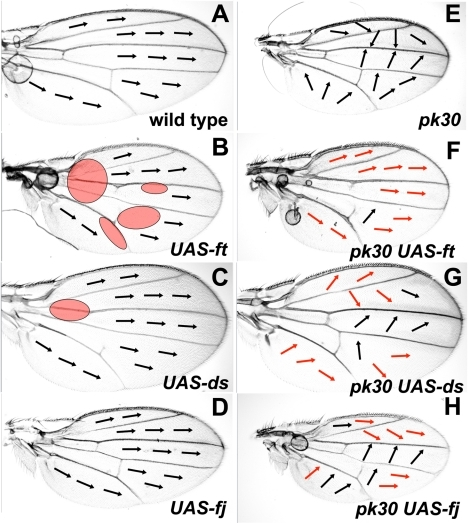 Over-expression of Ft/Ds pathway genes modifies the pkpk hair polarity phenotype.All micrographs are of the female dorsal wing surface. Arrows indicate local hair polarity. Red shaded ovals represent regions where hair polarity differs from wild-type. Red arrows indicate where local hair polarity differs from that seen on a pkpk30 homozygous wing. (A) Wild-type wing. (B) MS1096-gal4; UAS-ft wing. (C) MS1096-gal4; UAS-ds wing. (D) MS1096-gal4; UAS-fj wing. (E) pkpk30/pkpk30 wing. (F) MS1096-gal4; UAS-ft, pkpk30/pkpk30 wing. (G) MS1096-gal4; pkpk30/pkpk30; UAS-ds wing. (H) MS1096-gal4; UAS-fj, pkpk30/pkpk30 wing.