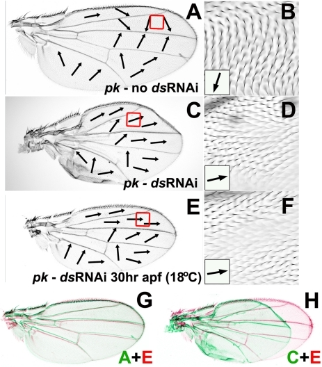 Reduced ds expression can modify pkpk hair polarity without affecting wing morphogenesis.All micrographs show dorsal wing surface of MS1096-Gal4/+; pk30, UAS-ds(IR)/pk30, tubP-GAL80ts female flies. Black arrows indicate local hair polarity. (A) Wing from fly cultured at 18°C. (B) Enlargement of anterior region outlined by red box in (A). (C) Wing from fly cultured at 30°C. (D) Enlargement of anterior region outlined by red box in (C). (E) Wing from fly cultured at 18°C then shifted to 30°C at 30 hours a.p.f. (F) Enlargement of anterior region outlined by red box in (E). (G) Wing from (A) rescaled, colored green and overlaid on wing (E) colored red. (H) Wing from (C) rescaled, colored green and overlaid on wing (E) colored red.
